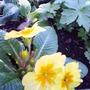 yellow_primrose.jpg