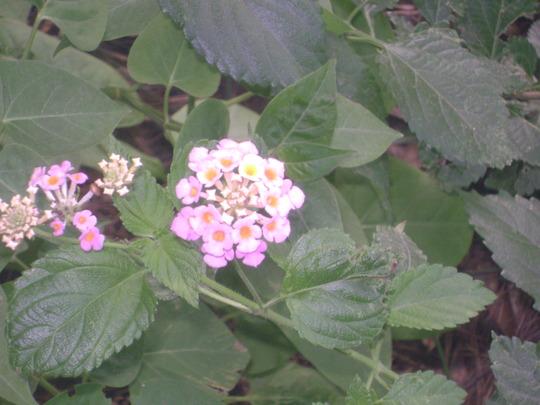 A garden flower photo (Lantana camara (Lantana))