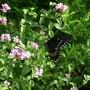 spicebush swallowtail (Verbena canadensis (Homestead Verbena))