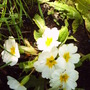 white_primrose.jpg