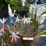 Narcissusminiatus