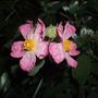 Cistus_silver_pink_