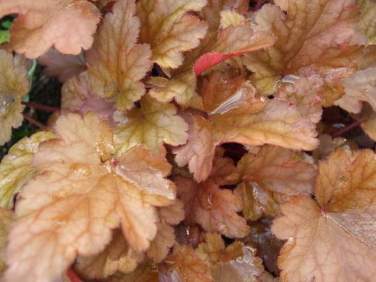 Heuchera 'Peach Flambe' leaves. (Heuchera)
