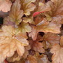 Heuchera_peach_flambe_leaves