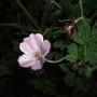 Geranium_pink_delight_