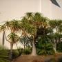 Aloe bainsii - Tree Aloe and Cycas revoluta - Sago Palm (Aloe bainsii - Tree Aloe and Cycas revoluta - Sago Palm)