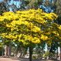 Peltophorum pterocarpum - Yellow Poinciana (Peltophorum pterocarpum - Yellow Poinciana)