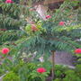 Calliandra haematocephala - Red Powder Puff (Calliandra haematocephala - Red Powder Puff)