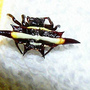 Austracanthra minax..Jewel Spider (Austracanthra minax)