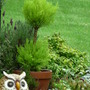 Goldcrest topiary (Goldcrest conifer)