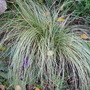 Carex......Frosted curls (Carex   Frosted curls)