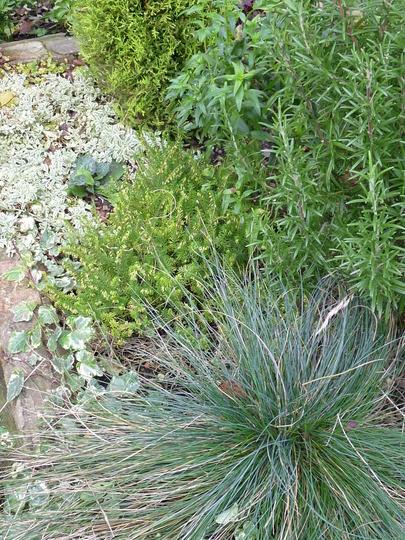 Festuca Glauca (Festuca glauca (Blue fescue))