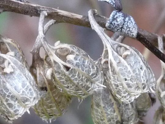 Silver bells....:o) (Campanula lactiflora (Milky bellflower))