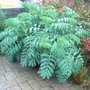 Melianthus major - 2009 (Melianthus major)