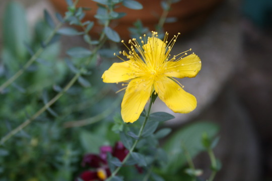 hypericum grandiflorum (Hypericum olympicum (Hypericum))