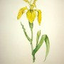 Yellow Flag Iris Painting by my Mum