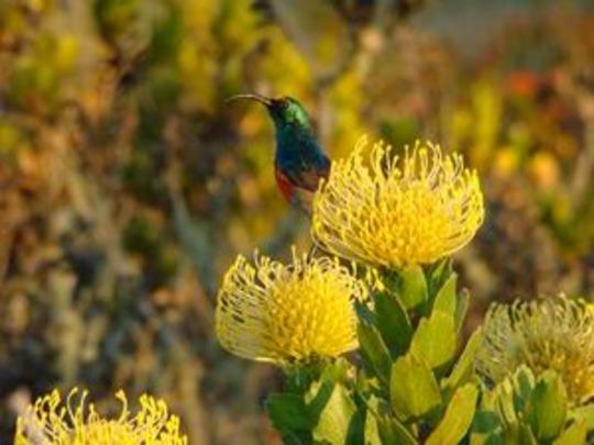 Sunbird on Pincushion (Leucospermum cordifolium (Bobbjaanklou))