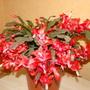 Schlumbergera (Schlumbergera truncata (Zygocactus truncata))