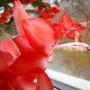 Flower again... (Schlumbergera truncata (Zygocactus truncata))