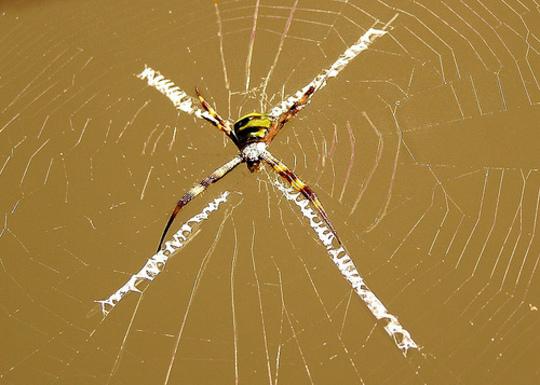 St Andrews Cross Spider (Argiope keyserlingi)