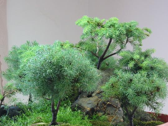 Mini conifers