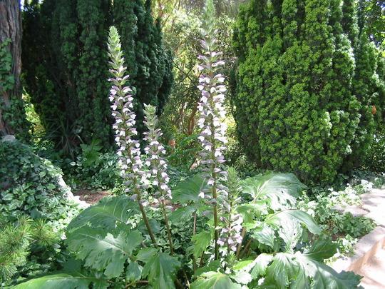 Acanthus and Conifers (Acanthus mollis)