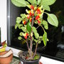 """Congo Cockatoo """"Parrot Plant"""" (Impatiens niamniamensis)"""