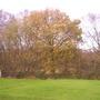 Young Oak on the edge of Askham Bog
