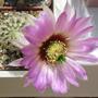 Echinocereus pectinatus (Echinocereus pectinatus)