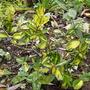 Elaeagnus pungens maculata (Elaeagnus pungens maculata)
