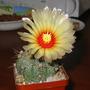 Astrophytum hybrid (Astrophytum)