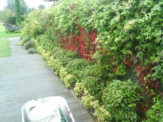 Hebe Viburnum Clematis Virginia Creeper (Parthenocissus quinquefolia (Virginia creeper))