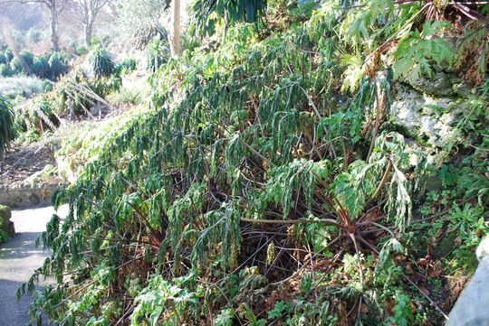 Frost damage to Geranium Madrense