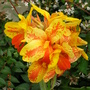 Canna indica 2 (Canna indica (Indian shot plant))