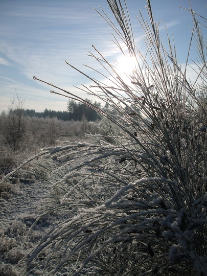 Frosty Morning (Wee Wood Grasses)