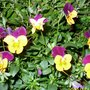 Pretty Violas