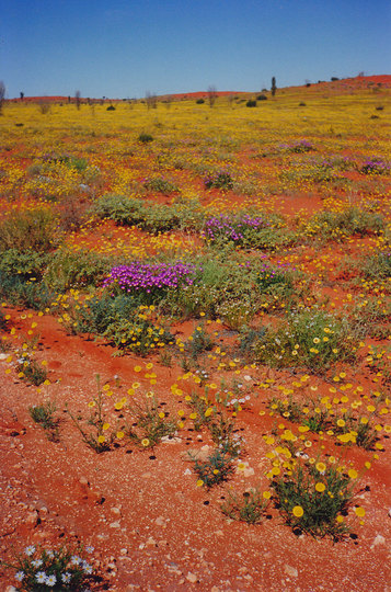 Springtime in central Australia - wildflowers blooming.
