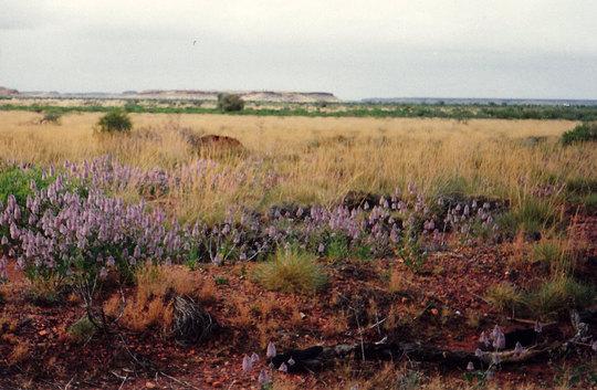 Springtime in western Australia - wildflowers blooming.