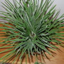Another one for the jungle..... (Chamaerops humilis (Dwarf Fan Palm))
