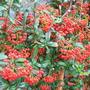 Pyracantha coccinea (Pyracantha angustifolia (Fire Thorn))