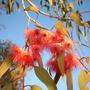 Eucalyptus sideroxylon - Red Ironbark, Mugga Ironbark (Eucalyptus sideroxylon - Red Ironbark, Mugga Ironbark)