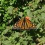 Monarch - Spread your wings and fly (Lantana camara (Lantana))