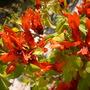 Ruttya fruticosa 'Orange Dragon' - Rabbit ears 'Orange Dragon' (Ruttya fruticosa 'Orange Dragon' - Rabbit ears 'Orange Dragon')
