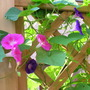 Ipomea in July 1 (Ipomoea tricolor (Morning glory))