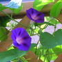 Ipomea in July 2 (Ipomoea tricolor (Morning glory))