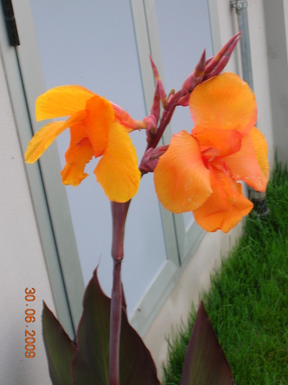 Canna indica 4 (Canna indica (Indian shot plant))