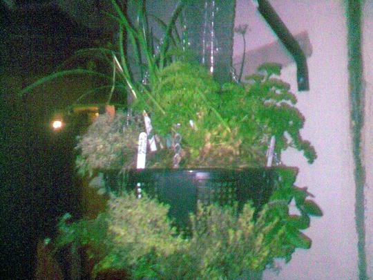 my herb garden in a hanging basket