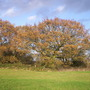 Mature Oaks - Vale of York - 20-Nov. '09 (Quercus robur (English oak))