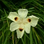Moréias - Moray eel flower - Brazilian name (Dietes iridioides)