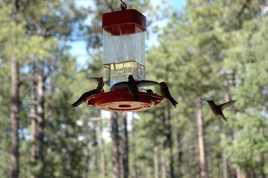 Hummingbirds in New Mexico